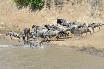 Wildebeest crossing the Mara River 14
