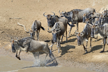 Wildebeest crossing the Mara River 13