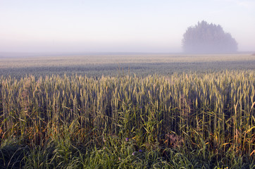 summer end morning landscape with fog and wheat