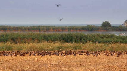 Flock of wild ducks in the Danube delta