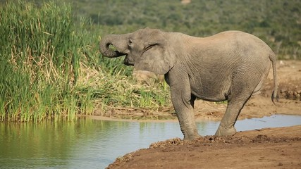 A young African elephant drinking water