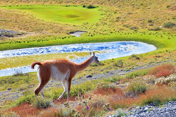 The charming vicuna on the shore