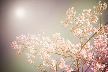 Spring cherry blossom background with vintage filter.