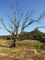 Albero quercia secco