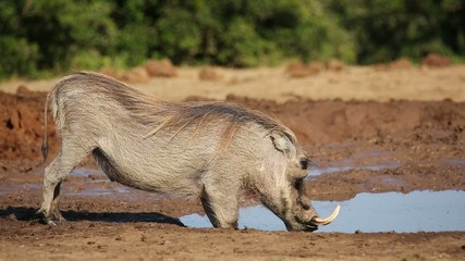 A male warthog drinking water