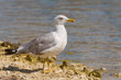 canvas print picture - Gull on a rock