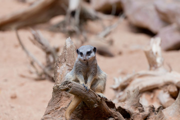 suricata sits on sand