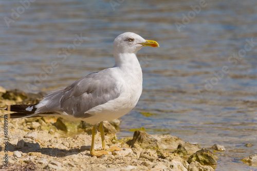 canvas print picture Gull on a rock