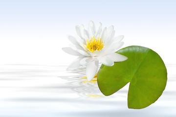 weiße Seerose mit Wasser