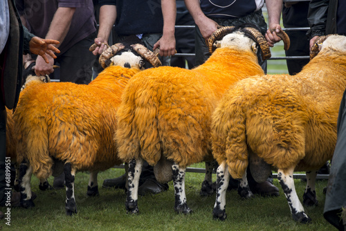 Sheep Judging, County Show Poster
