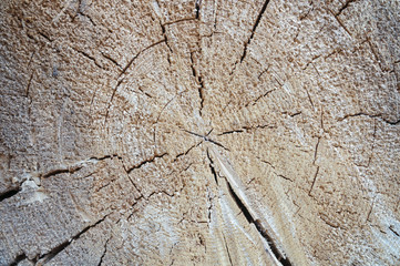 the texture of rough cut pine tree