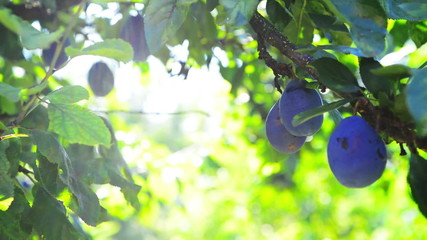 Ripe plum fruit on a branch in orchard on a bright summer day