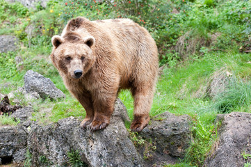 european brown bear standing in the mountains