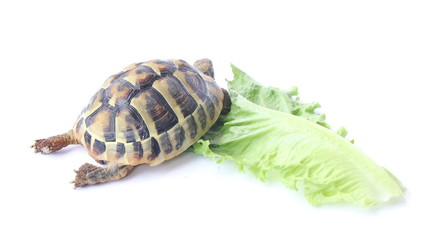 Small Tortoise eating green salad