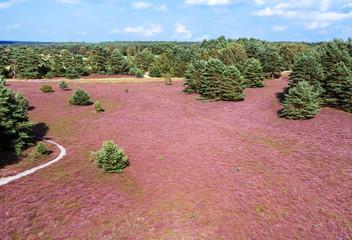 Heideblütenfläche im Naturpark Lüneburger Heide