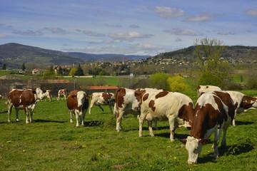 Vaches sur fond dl'Ardèche