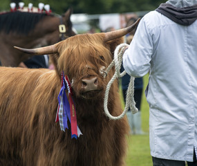 Highland Cow in Show Ring
