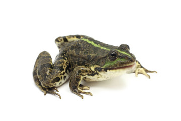 green frog with an open mouth on a white background