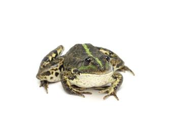 green striped marsh frog on white background