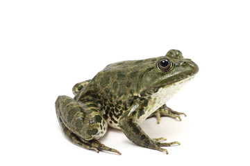 dark green spotted frog on white background