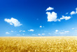 wheat field and sunny day