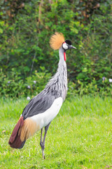 A bird called african crowned crane