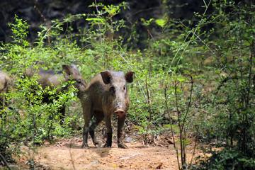 Pig in jungle