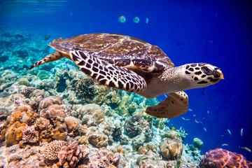 fototapeta żółw w oceanie