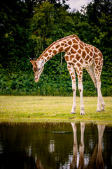 Giraffe looking into the water