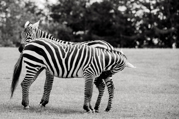 Couple of zebras on grass