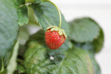 Fresh strawberris