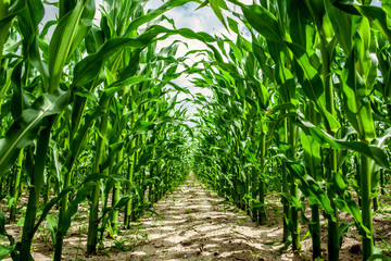 High corn crops on a row