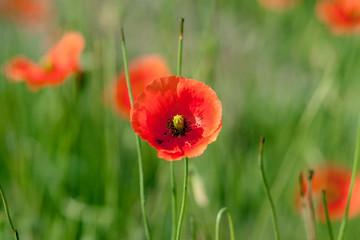 Poppy flowers on a field