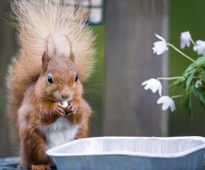 Red Squirrel at a Garden Bird Table