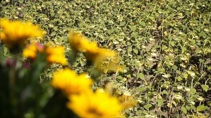 Clip fiori gialli e campo di girasoli