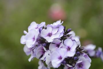 Macro shot of hydrangea