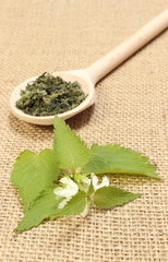 Fresh nettle with white flowers and dried plant