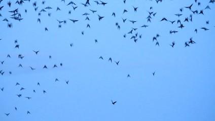 Krähen fliegen schnell