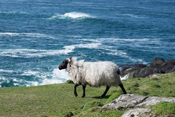 Connemara blackface Schaf