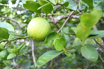 citron, lemon