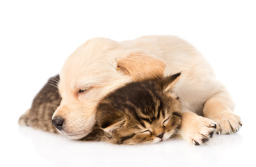 golden retriever puppy dog sleep with british kitten. isolated o