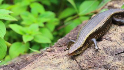 beautiful big asian iguana in jungle of thailand