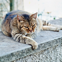 Angry old tired tabby cat