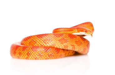 Creamsicle Corn Snake (Elaphe guttata guttata). isolated on whit