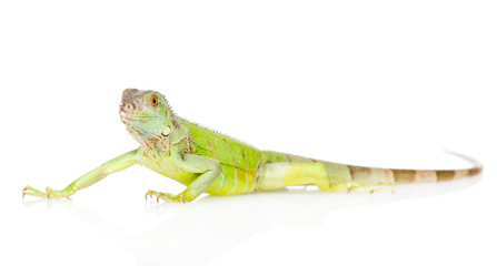 green agama in profile. isolated on white background