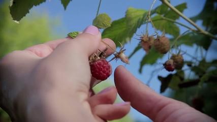 Stock Video Footage Berries Raspberries in the blue sky MACRO