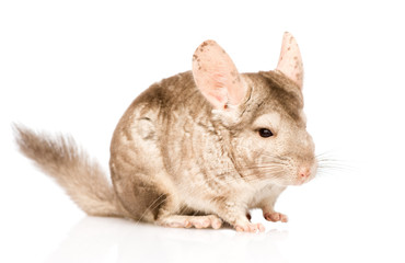chinchilla looking away. isolated on white background