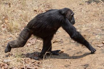 Chimpanzee gait