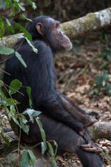 Chimpanzee seated on a log