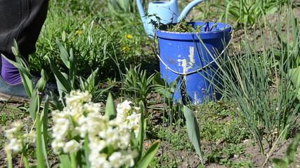 gardener weeding flower beds in spring garden.
